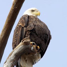Bald Eagle by Sue Heckman - Animals Birds ( eagle, nature, bald eagle, birds, american bald eagle )