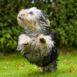 by Michael  M Sweeney - Animals - Dogs Running ( michael m sweeney, nikon, run, dog )