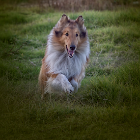collie by Cristobal Garciaferro Rubio - Animals - Dogs Running