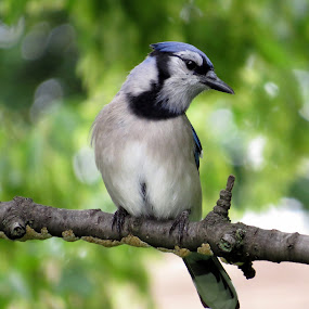 North American Blue Jay by Patti Hobbs - Animals Birds ( animals photography north american bluejay birds,  )