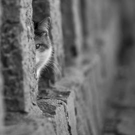 Too shy to come out by Liam Coburn Dunne - Animals - Cats Portraits ( cat, nikon d800, stare, black & white, dof, shy, bokeh, nikon 70-200, eye,  )