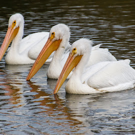 Friends enjoying the day by Omar V. Lanz Wolf Seventy-six - Animals Birds ( american white pelican )