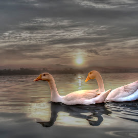 Good morning Geese. by Deepak Goswami - Animals Birds