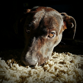 by Todd Reynolds - Instagram & Mobile Instagram ( amstaffpuppy, amstaff )
