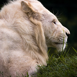 Lion by Voicu Lupan - Animals Lions, Tigers & Big Cats ( lion, safari, power, africa, king )