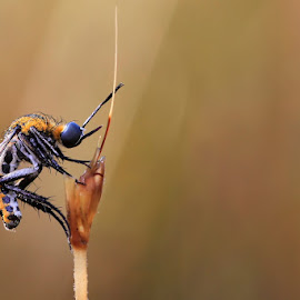The Hunchback by A Friyana Wiradikarta - Animals Insects & Spiders ( hunchback fly, insect )