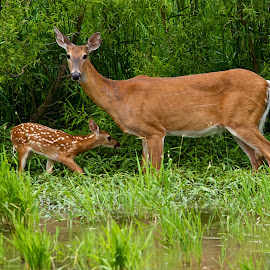 White-tail Doe and Fawn by Dan Ferrin - Animals Other Mammals ( white-taled fawn, nature, white-tailed doe, white-tail doe, wildlife, doe and fawn, white-tail fawn, fawn, deer )