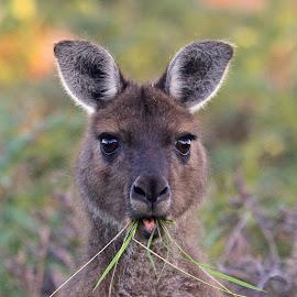 Kangeroo profile by Anthony Goldman - Animals Other Mammals ( wild, mammal.kangeroo profile, kangeroo, eating, island,  )
