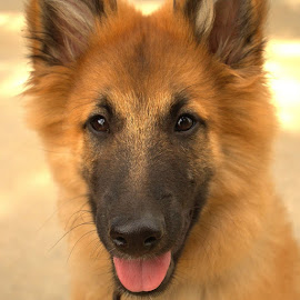 GSD pup! by Michele Williams - Animals - Dogs Puppies (  )