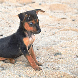 Puppy on beach by Jaliya Rasaputra - Animals - Dogs Puppies ( puppy )