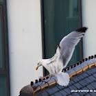 European Herring Gull