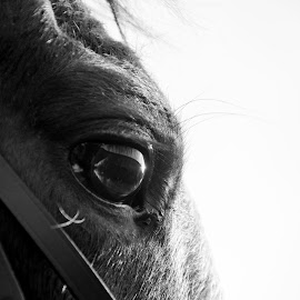 Tosca B&W by Nicky Staskowiak - Animals Horses ( black and white, horse, hard light, belgium, eyes,  )