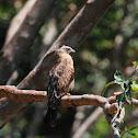 Brahminy kite (juvenile)