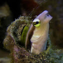 Striped poison-fang Blenny