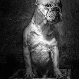 by Fabb Winter - Animals - Dogs Portraits ( bulldog, chien, boss, bouledogue, n&b, cute, king )