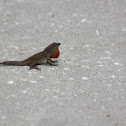 Another Brown Anole