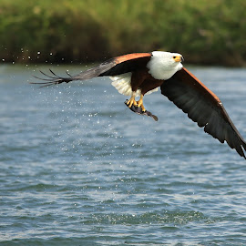 Another kill!   by Dave Roberts - Animals Birds ( african birds, eagles, bird, fly, flight )
