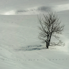 Isolation by Petra Bensted - Nature Up Close Trees & Bushes ( winter, tree, cold, snow, tracks, shadows, alpine )
