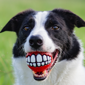 Goofy Smile by Karen Havenaar - Animals - Dogs Portraits ( rogz for dogs, ball, border collie, pr1mo fotografie, pet, adorable, dog, cute, domestic, teeth )