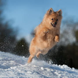 yahoo hugo in the scottish highlands by Michael  M Sweeney - Animals - Dogs Puppies ( animals, snow, dog playing, puppy, michael m sweeney, highlands, pomeranian, hugo )