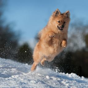 yahoo hugo in the scottish highlands by Michael  M Sweeney - Animals - Dogs Puppies ( animals, snow, dog playing, puppy, michael m sweeney, highlands, pomeranian, hugo )