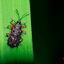 Spiny leaf beetle
