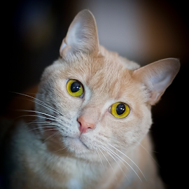 Bert. by Andrew Lawlor - Animals - Cats Portraits