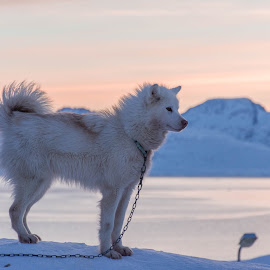 Greenlandic sled dog  by Jon G Magnusson - Animals - Dogs Portraits ( sled dogs, sunset, ice, greenland, dog )
