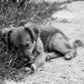 Fear by Alexandra Nicolau - Animals - Dogs Puppies ( black and white, scared, little dog, dog, eyes,  )