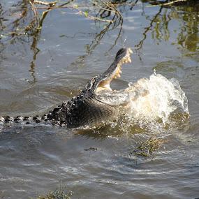 florida gator by Sean Kushmick - Novices Only Wildlife ( predator, florida, alligator, action, tampa )