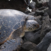 Honu on Hawaii Island