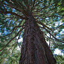 Coast Douglas Fir