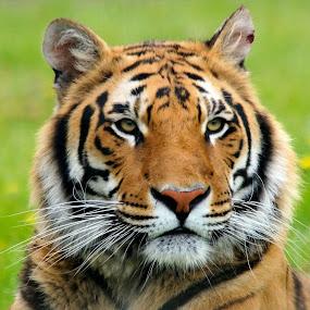 Tigris by Dark Reid - Animals Lions, Tigers & Big Cats ( wingham wildlife park, big cat, bengal cross, tiger, canterbury, watching, waiting, blade, tigris, bengal tiger cross,  )