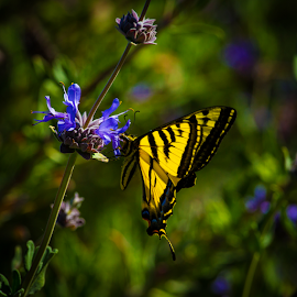Swallowtail on Blue Flower-2 by Ken Wade - Animals Insects & Spiders ( butterfly, blue, yellow, swallowtail )