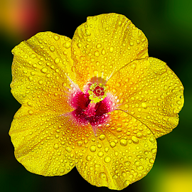 by Charliemagne Unggay - Flowers Single Flower