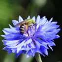 Agapostemon Sweat Bee