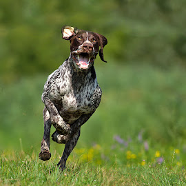 Prímás by Zoltán Túri - Animals - Dogs Running