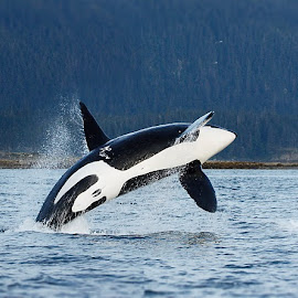 Free by Adam Taylor - Novices Only Wildlife ( breach, wild, orca, free, alaska,  )