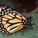 Southern Monarch butterfly