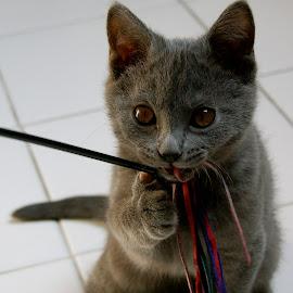 Imeros by Serge Ostrogradsky - Animals - Cats Kittens ( chat chartreux chaton, chartreux, chaton, chat,  )