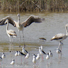 Greater Flamingo (juveniles)