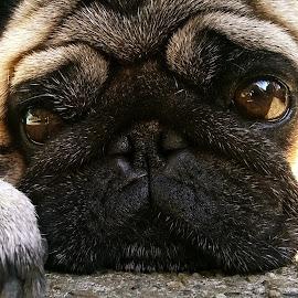 My Disco by Jasmina Zoran Lakovic - Animals - Dogs Portraits ( animals, dogs, dog portrait, pugs, portrait,  )