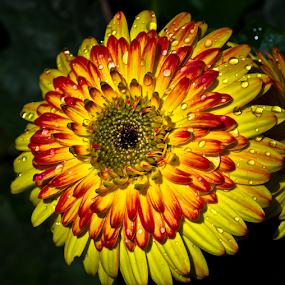 by Darrell Raw - Flowers Single Flower