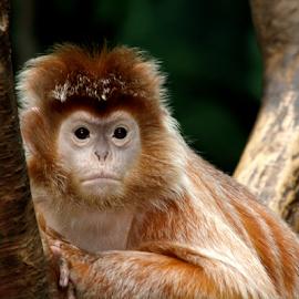 Bad Hair Day by Janet Lyle - Animals Other Mammals ( wildlife, monkey )
