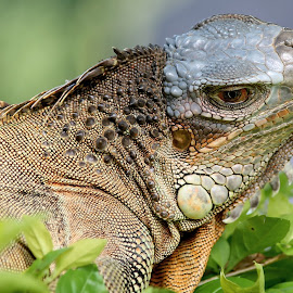 by Si Bajank - Animals Reptiles