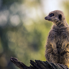 The Lookout by Jonathan Henchman - Animals Other Mammals ( nature, zoo, lookout, wildlife, meerkat, cute, bokeh, animal )