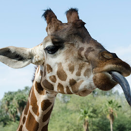 Tounge out by Lisa Coletto - Animals Other Mammals ( giraffe, sticking tongue out, mammal )