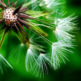 Dandelion Tendrils by Rhonda Musgrove - Nature Up Close Other plants ( dandelion, green, wildflower, weed, white, brown )