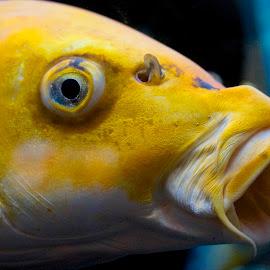 Gulp by Barbara Brock - Animals Fish ( fish up close, aquarium fish, fish eye, fish profile, yellow fish, fish gulping )