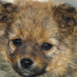 The puppie by Calistru Silviu - Animals - Dogs Puppies ( brown, puppy, dog, portrait, black,  )
